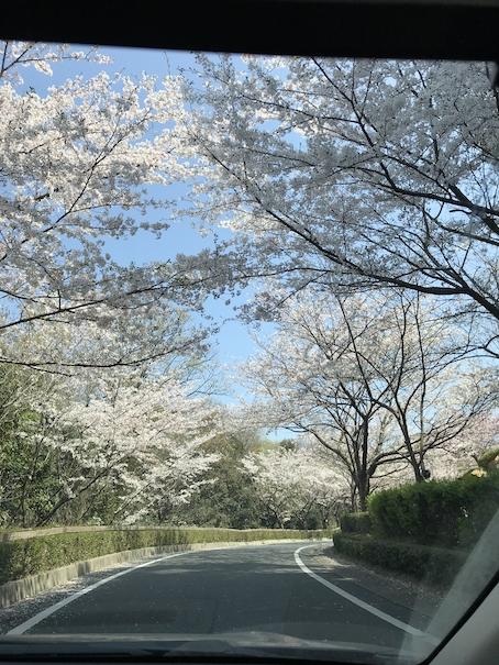 桜 綺麗 満開